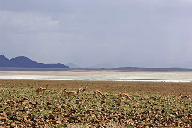 Springbok gravel plains