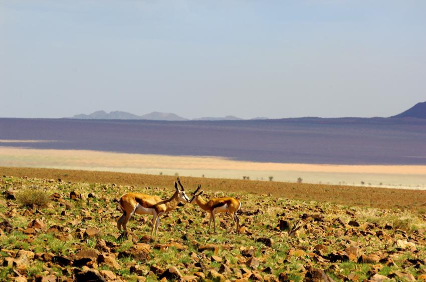 Springbok in the south of Namibia. Photo © Paul van Schalkwyk