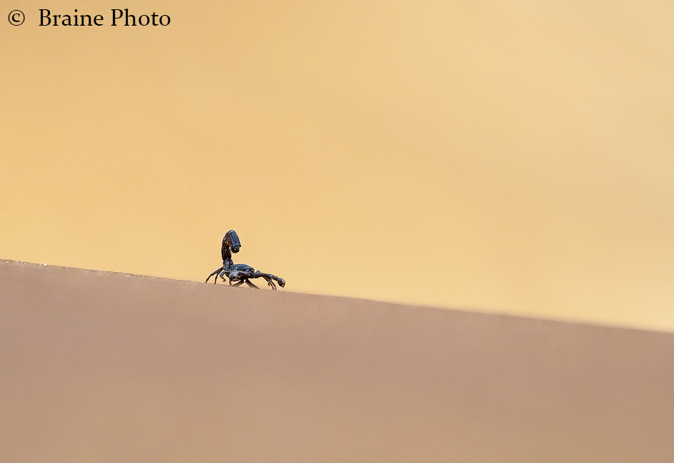Black hairy thick-tailed scorpion in Swakop dunes. Photo ©Sean Braine
