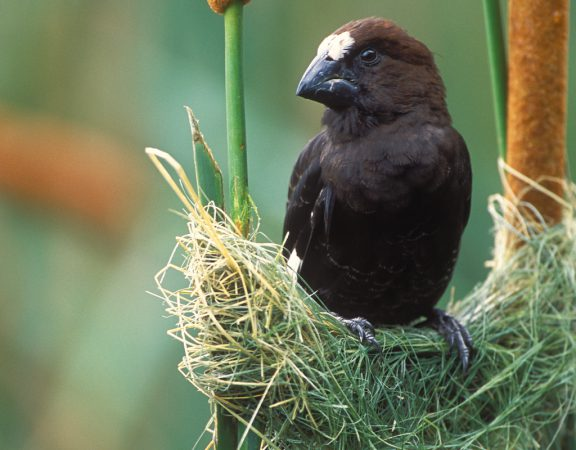 thick-billed-weaver-5