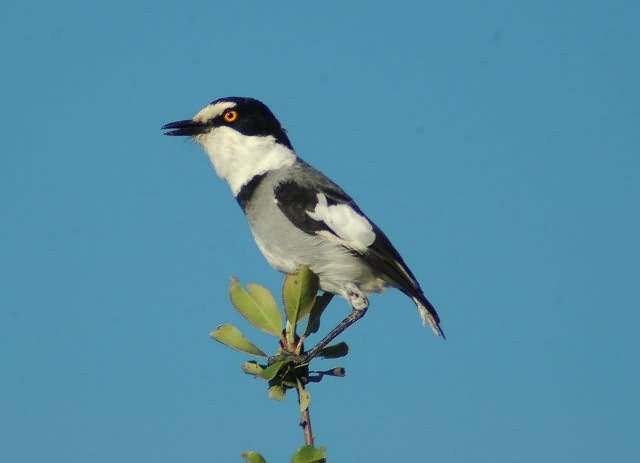 white tailed shrike