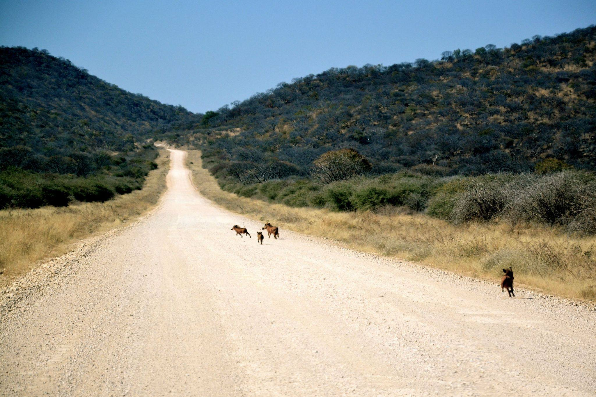 Warthogs, Namibian road. Photo ©Thomas Blomme