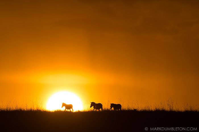 """Iconic Africa"" - Masai Mara, Kenya. Photo ©MARK DUMBLETON PHOTOGRAPHY A true African scene. Zebra walk across the grassy plains of the Mara, silhouetted by the setting sun, illuminating clouds and falling rain in the background."