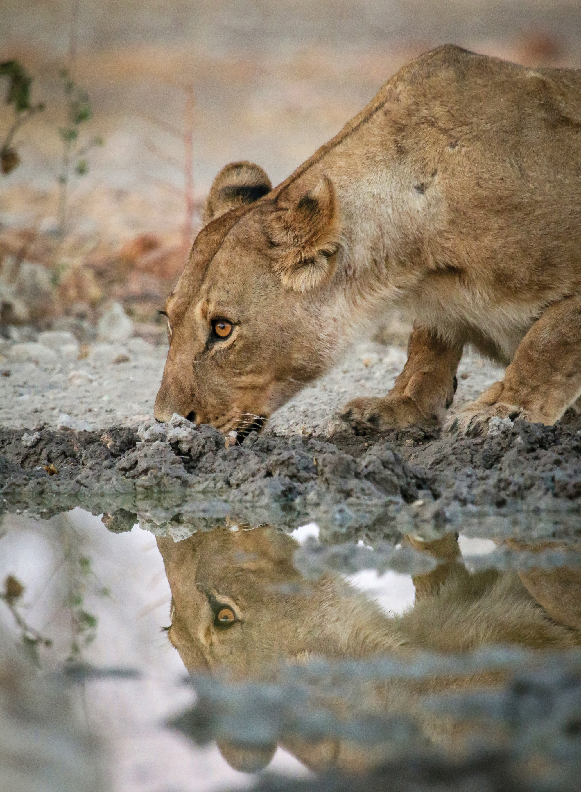 10.-Lioness-Drinking-Anderssons-Camp