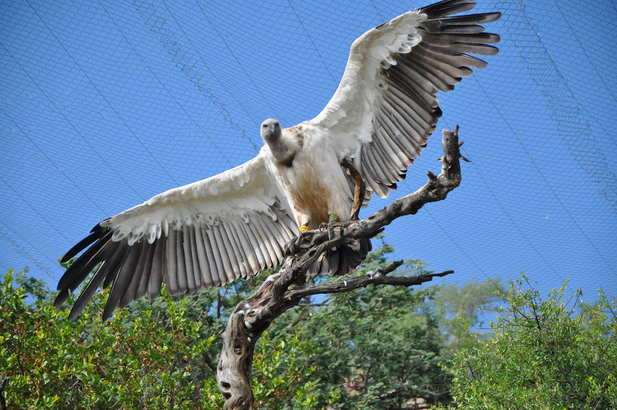 Some of the other animals in the care of Rest - Vultures