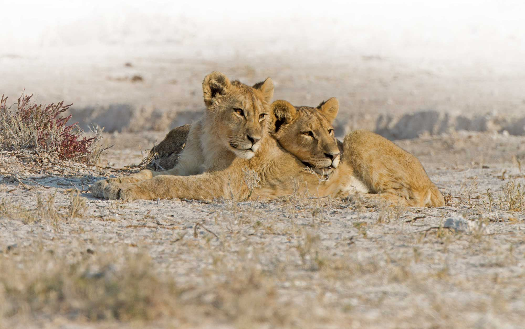 2-LION-CUBS-NEAR-SALVADORAfade