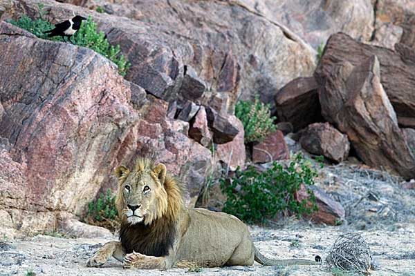 Male Lion. Photo: Kunene Lion Project.