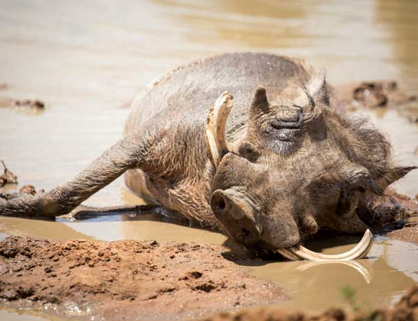 A-relaxed-warthog-in-the-waterhole-at-Plains-Camp