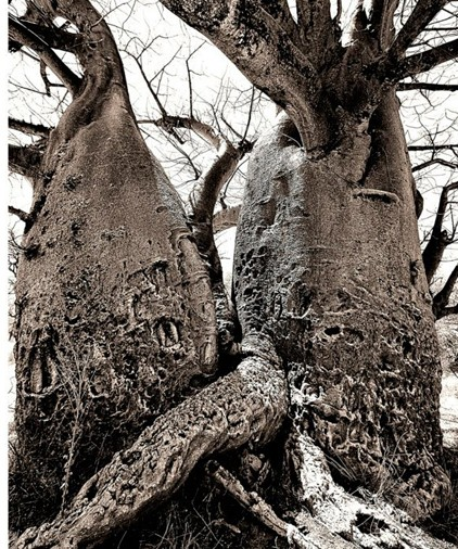Baobab tree. Photo ©Christie Keulder