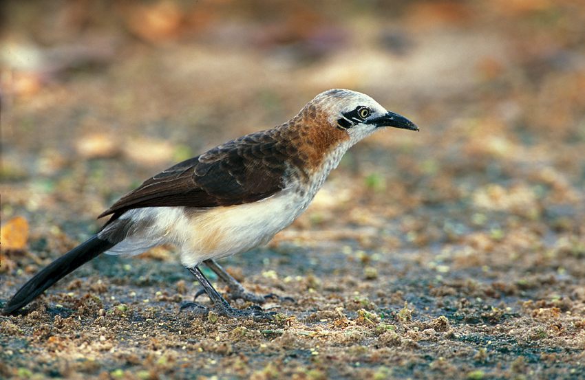 Endemic birds namibia pompie burger