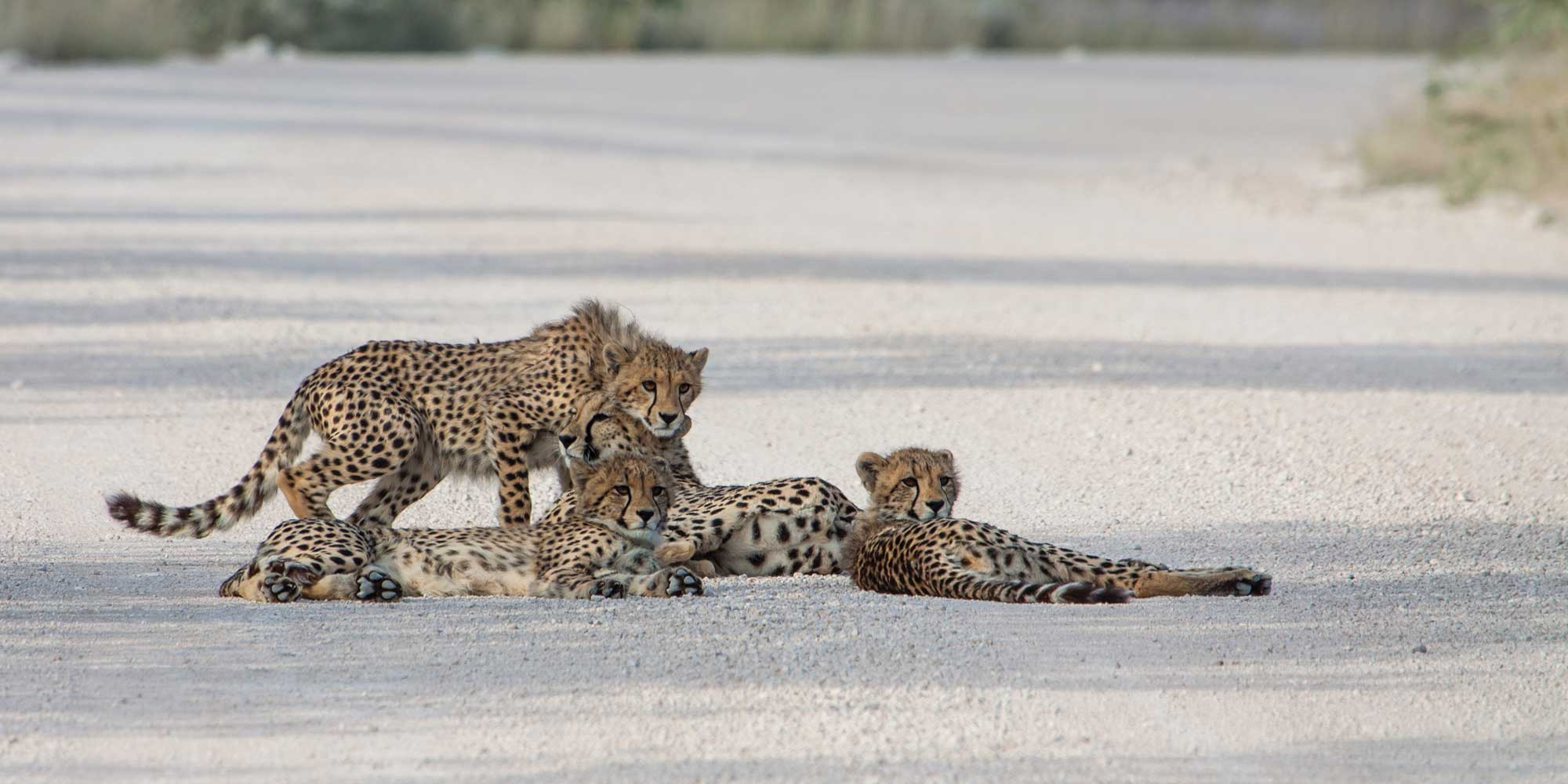 CHEETAH-MOTHER-AND-3-CUBS-RIETFONTEIN-AREA