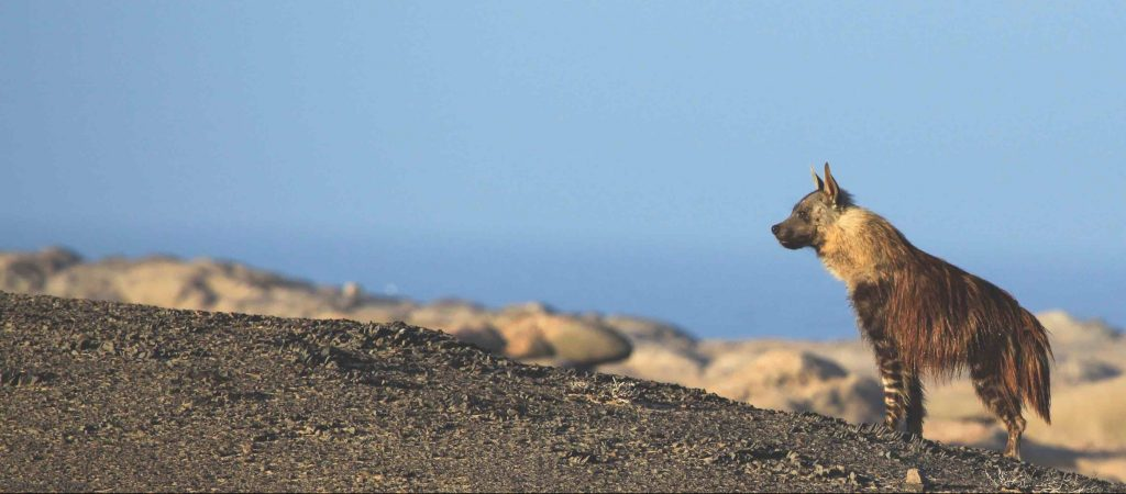 Clyde is a young hyena from the Skeleton Coast clan, Emsie Verwey.
