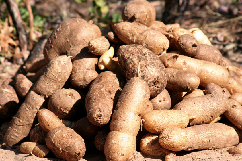 Devil's claw tubers. Photo © Dave Cole.