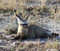 Bat-eared fox.