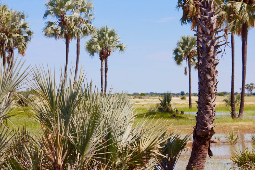 Makalani palm trees