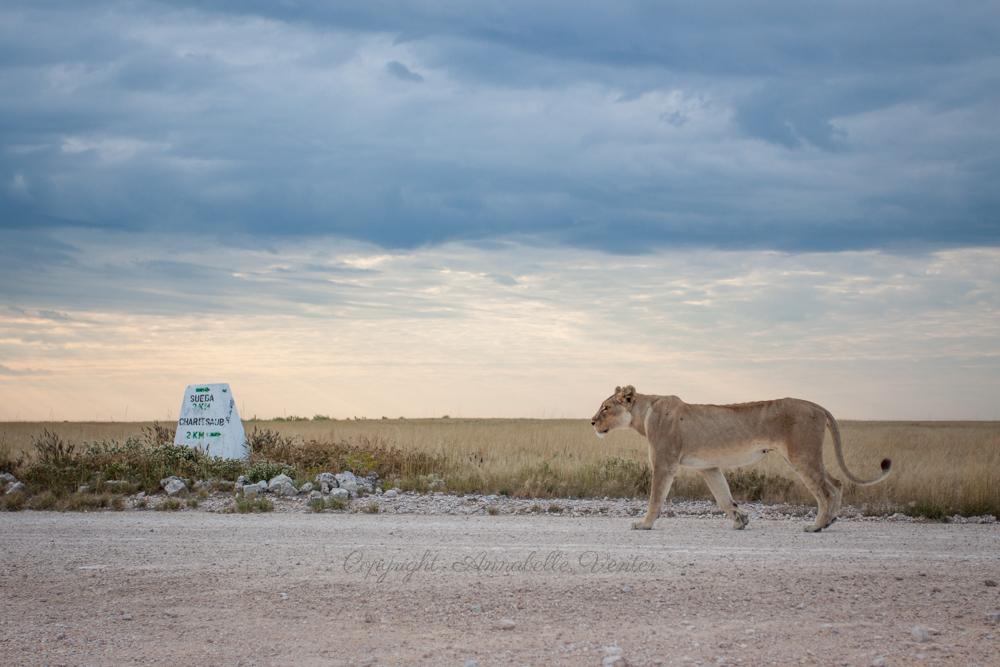 annabelle venter lion cheetah leopard etosha wildlife photography
