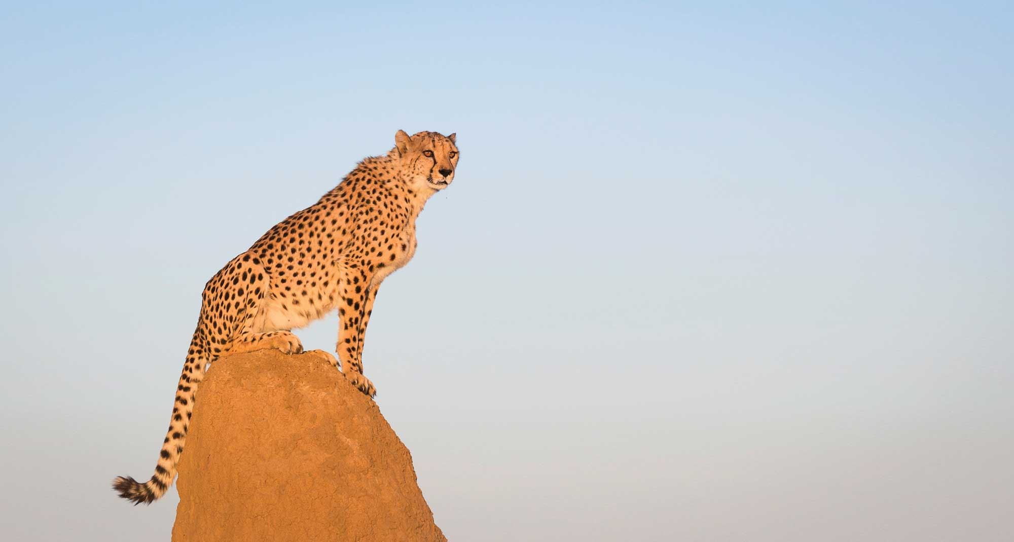 Mulder,-now-12-years-old-remains-in-captivity-as-an-AfriCat-ambassador