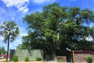 Outapi's famous 'skyscraper' at the Ombalantu Tree Heritage Centre is an 800 year-old baobab