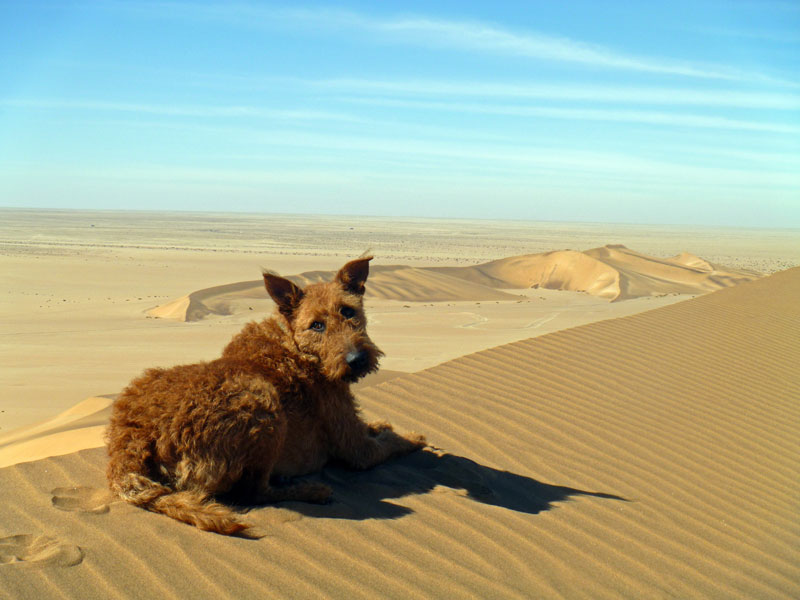 A dog on a dune. Namibia. Photo By Simon - The Nomadic Diaries
