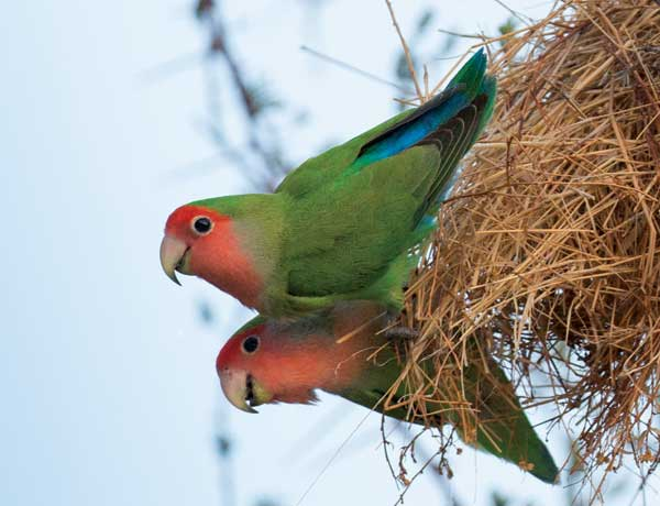 Rosy-faced-lovebirds.-NB-ONLY-FOR-USE-AS-A-SMALL-PHOTO-,-IF-AT-ALL.....VERY-GRAINY!!