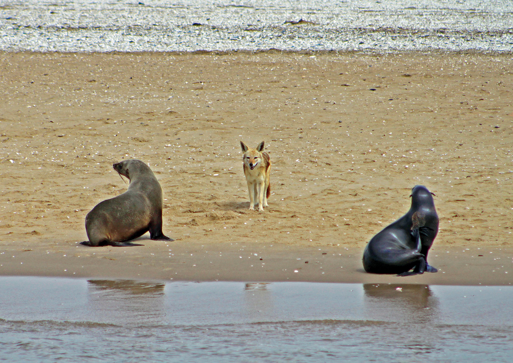 Seals-with-jackal-Mike-Lloyd