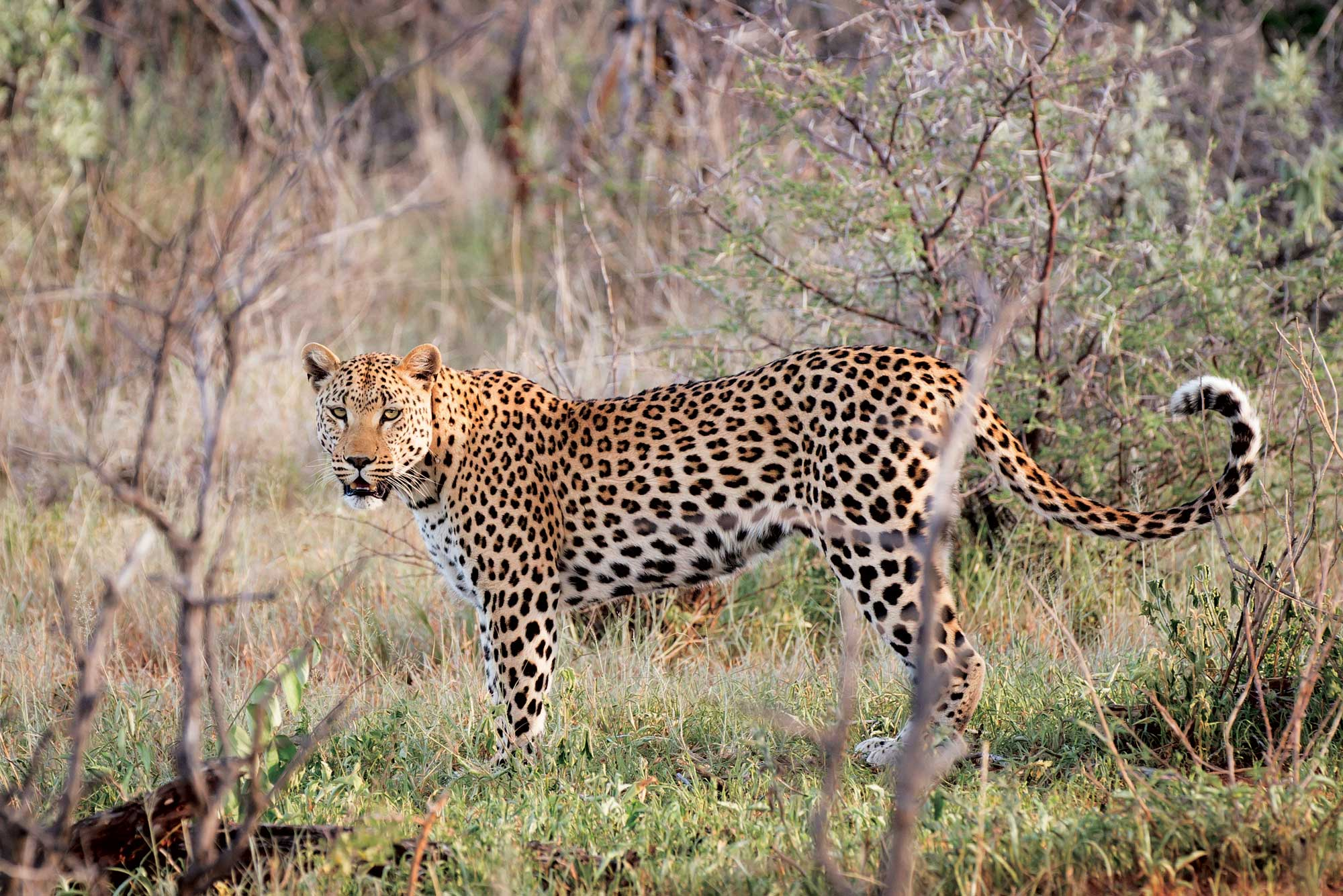The-sultry-Lila-,-one-of-the-collared-wild-leopards-on-Okonjima-2