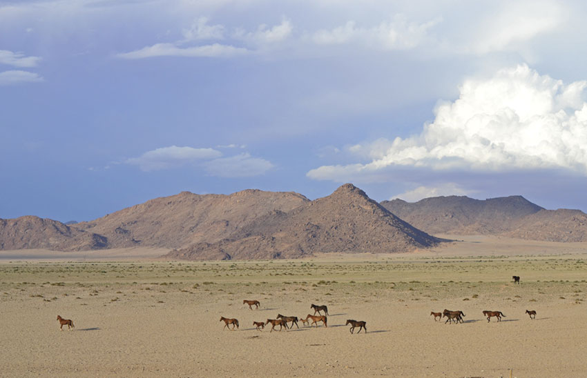 Wild Horses grazing in the Namib. ©Ron Swilling