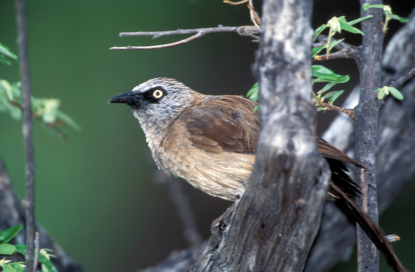 Blackfaced babbler. Photo Pompie Burger