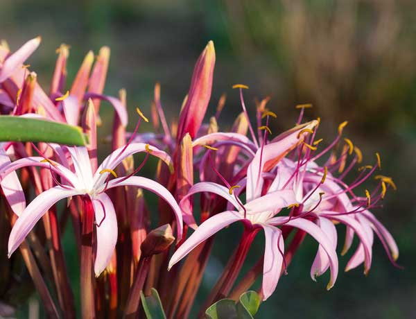 Crinum buphanoides flowers. Photo ©Annabelle Venter