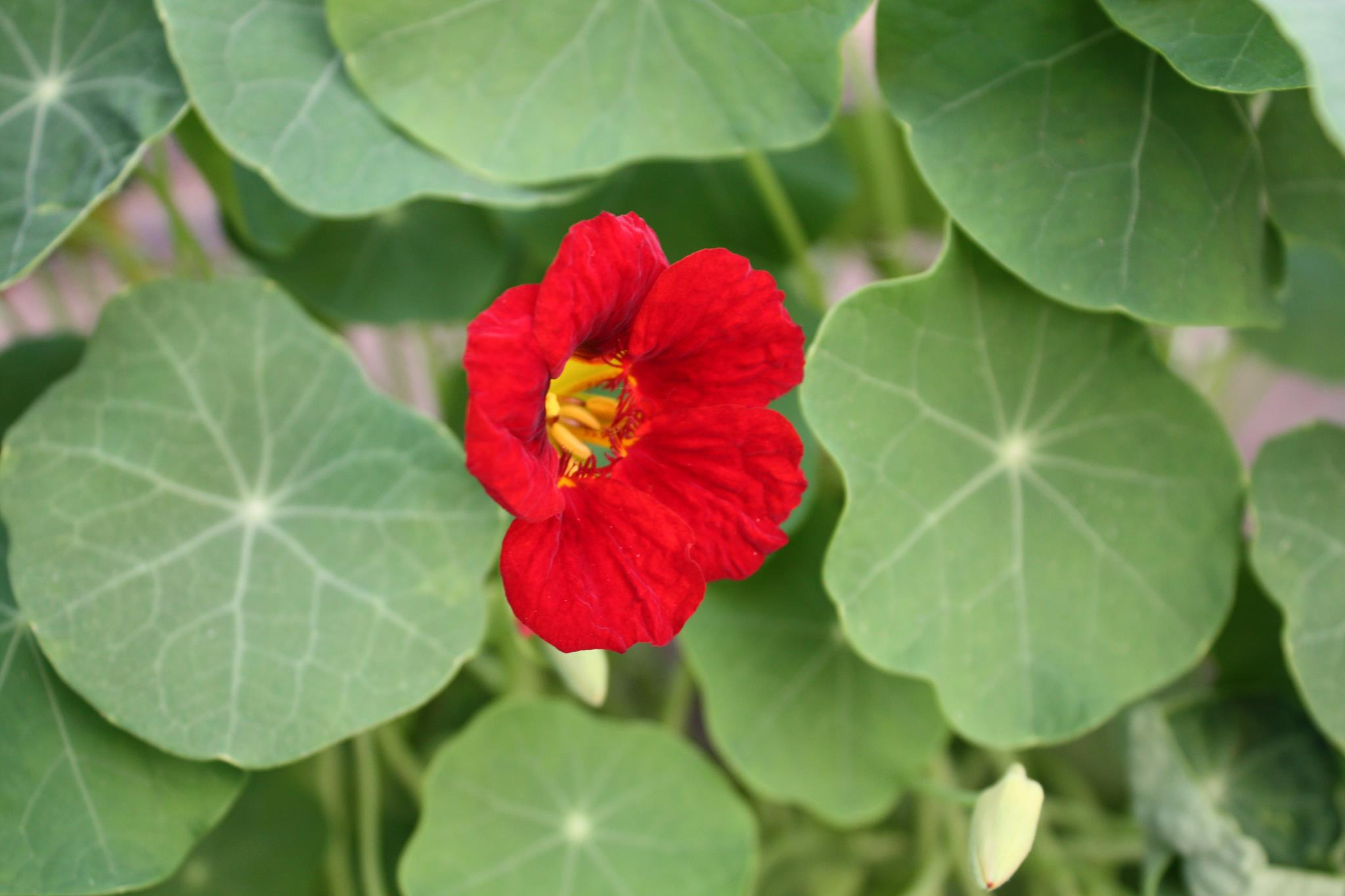 Edible flowers - Greenspot Organics Namibia.