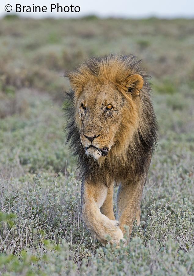 Etosha lion. Photo ©Sean Braine