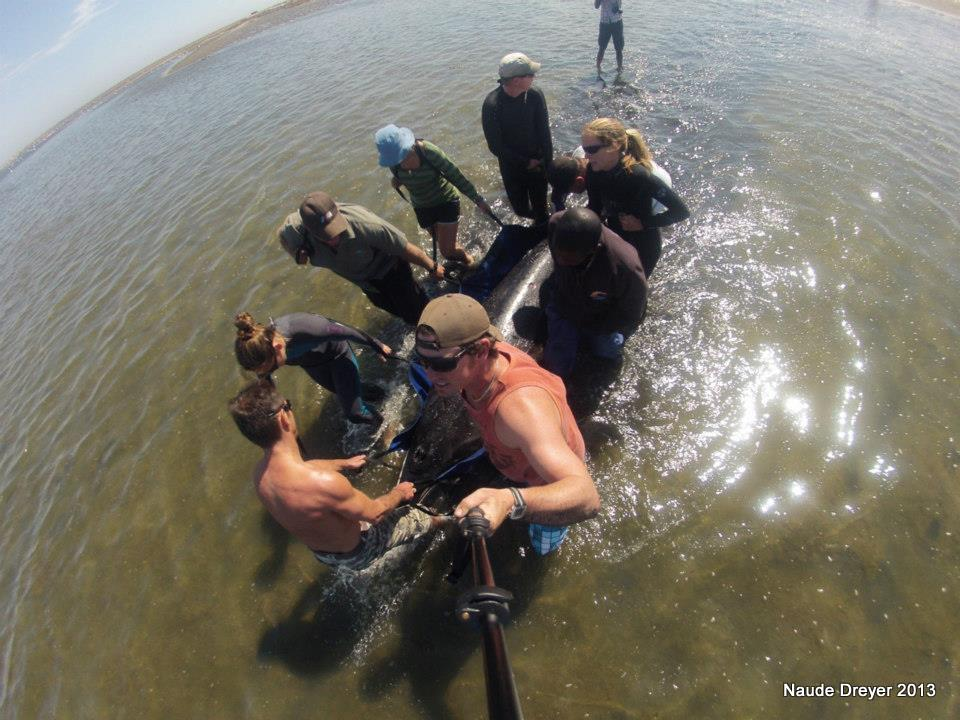 View from above as the Strandings Network team carries the whale out to deeper waters.