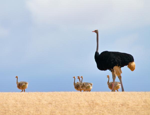 ostriches_pvs