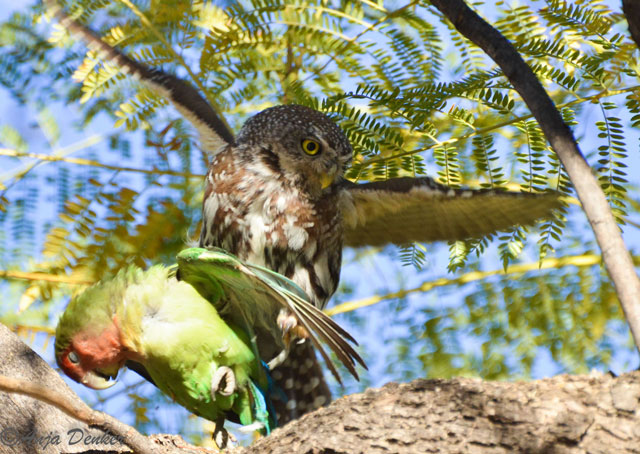 Pearl-spotted owl and lovebird. Photo ©Anja Denker