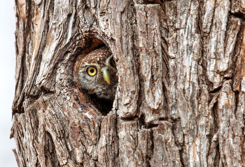Pearl spotted owlet. Photo ©Annabelle Venter