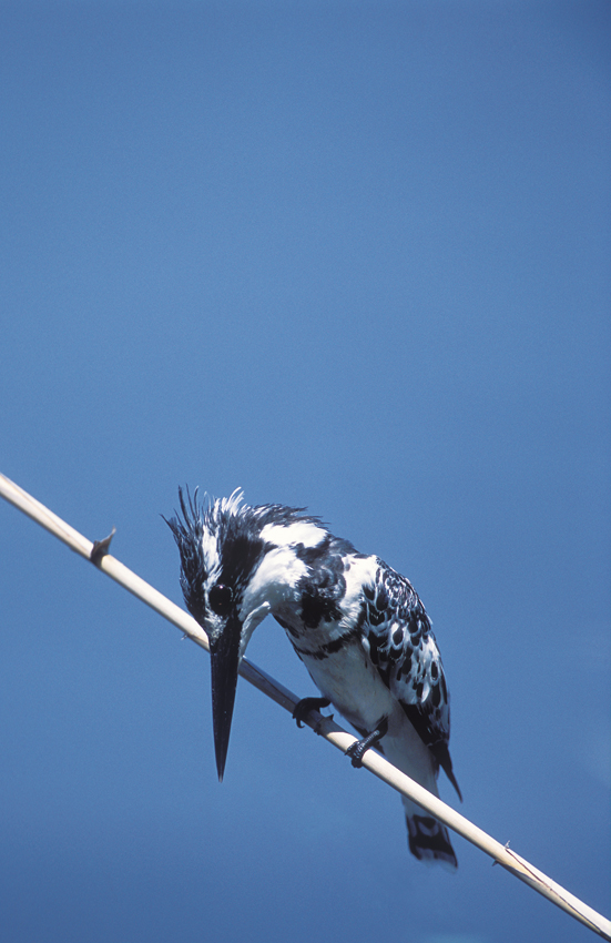 Pied kingfisher. ©Pompie Burger
