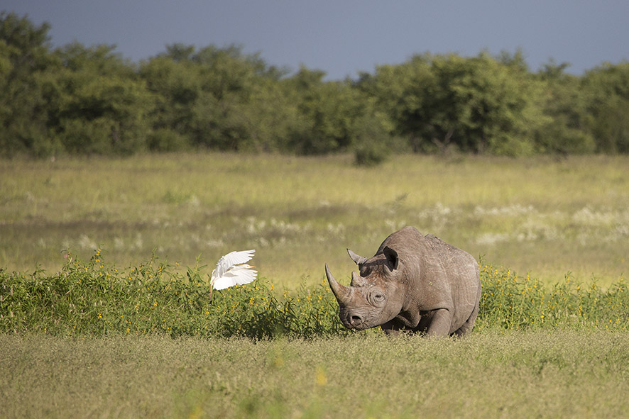 Etosha, Rhino and egret | Photo ©Annabelle Venter