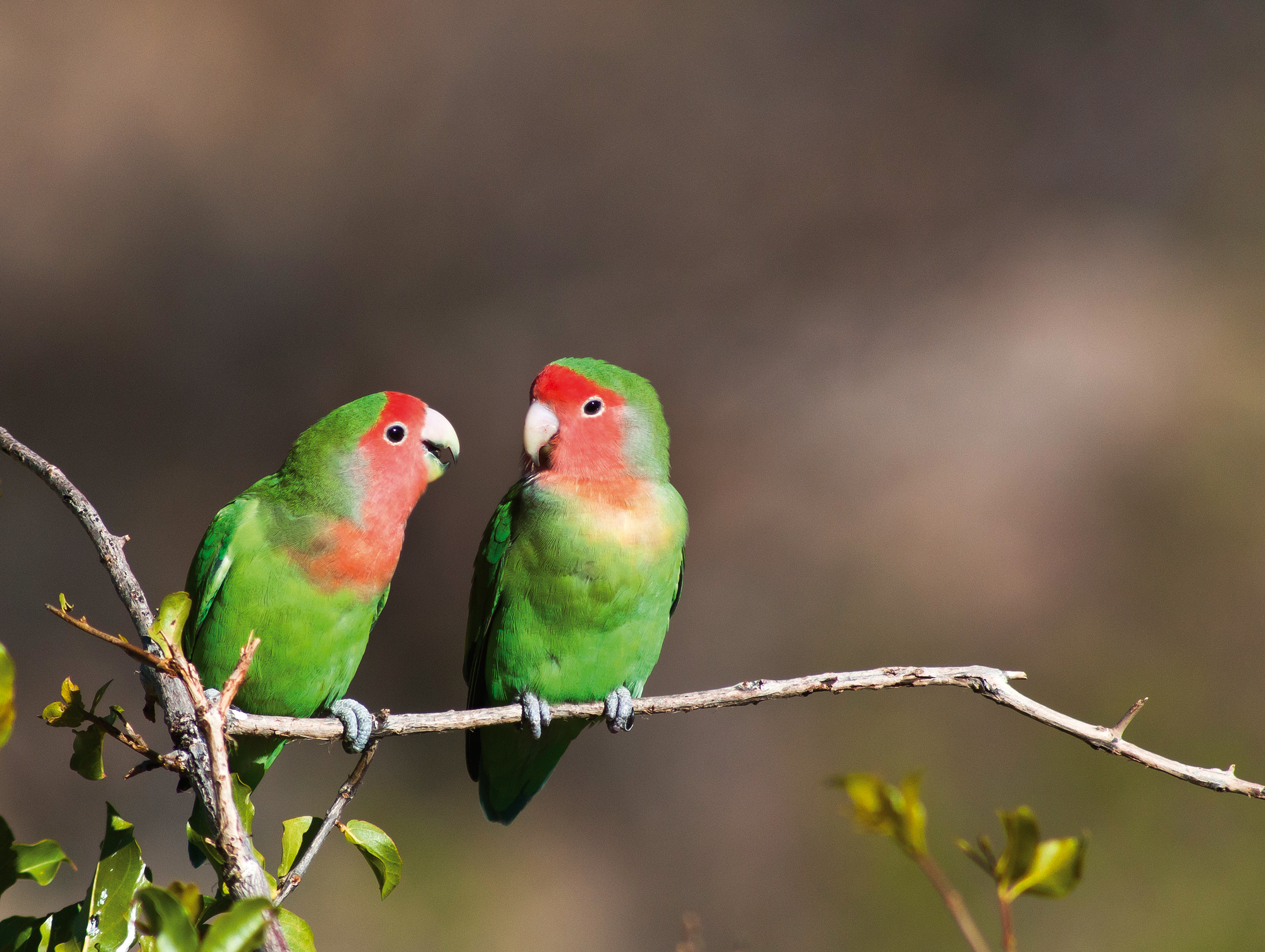 rosy-faced-lovebirds