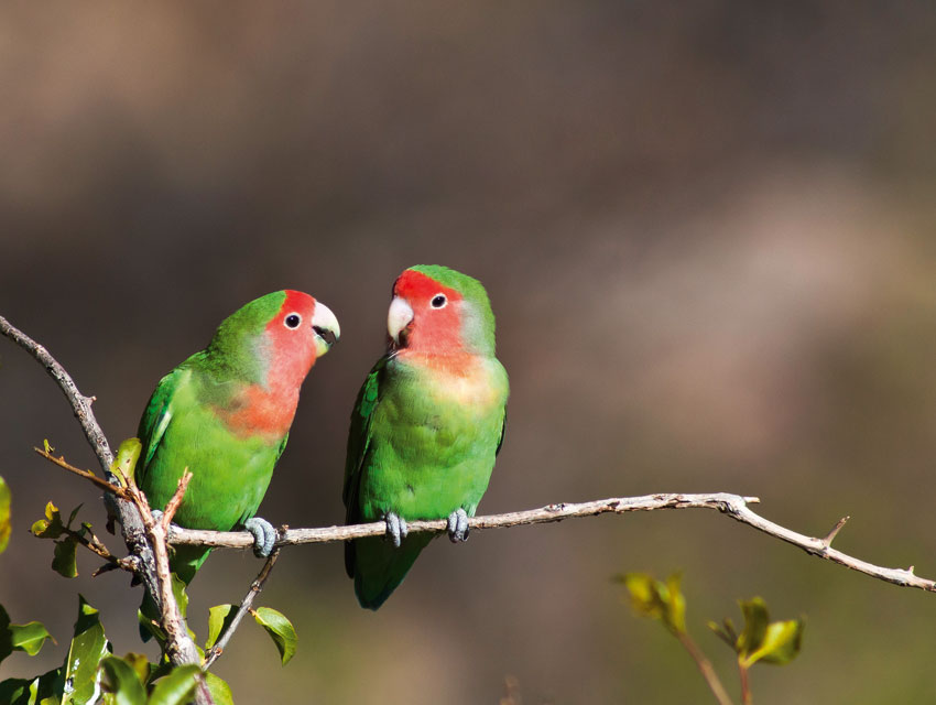 Rosy-faced lovebirds. Photo ©Dayne Braine