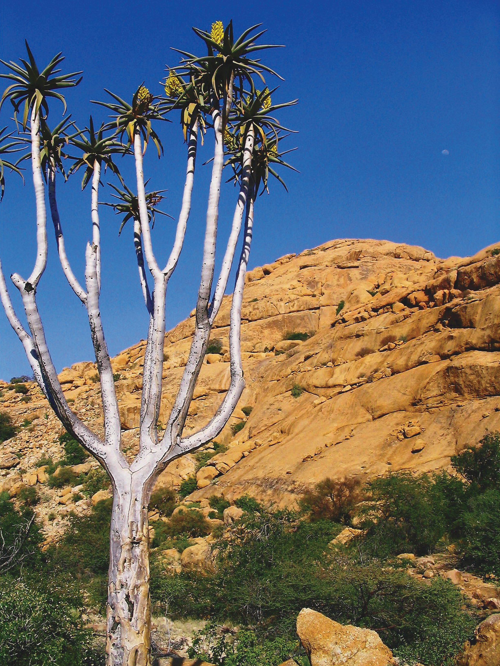 spitzkoppe-and-quiver-tree