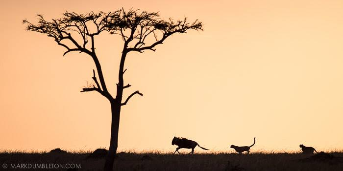 """""""Twilight Hunt"""" - The Mara Triangle, Masai Mara, Kenya. Photo ©MARK DUMBLETON PHOTOGRAPHY The setting sun casts golden hues onto the atmosphere, silhouetting two male Cheetah on the hunt, chasing down a fully grown Wildebeest. The chase was unsuccessful, as the Wildebeest turned around and challenged the Cheetah face to face."""
