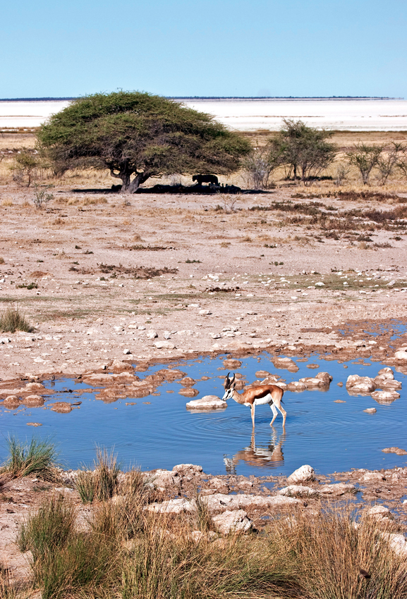 Vertical distance---Springbok at Salvadora waterhole, Etosha with lions watching. Photo ©Annabelle Venter