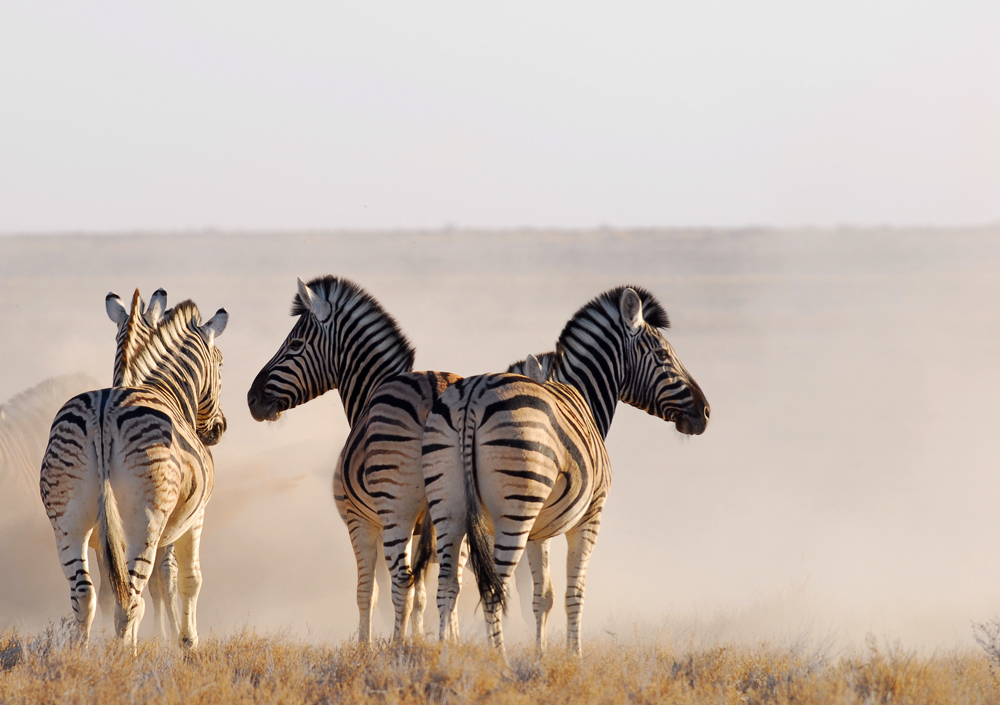 zebras Cheetah tours and safaris